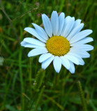 Shy, little mountain flower...