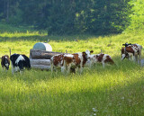Young cows in the sun...
