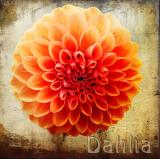 Orange Dahlia...