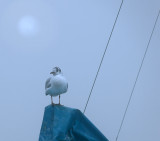 A solitary gull in a misty morning...