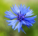 The complicated simplicity of a Cornflower...