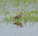 Long-billed Dowitcher, Eagleville, Rutherford Co., Apr 13