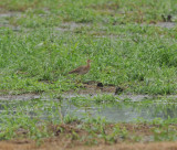 Upland Sandpiper, Eagleville Sod Farm, Rutherford Co., 8 Aug 13