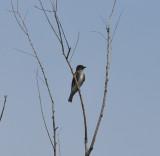 Olive-sided Flycatcher, Lake Co., TN, 16 Aug 13