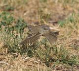 Willow Flycatcher, Garr Ranch, Antelope Island SP, Utah