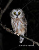 Northern Saw-whet Owl, banded, 23 Sept 13