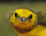 Adult female Hooded Warbler