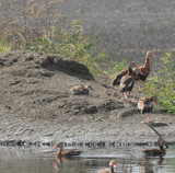 Black-bellied Whistling Duck duckling, Ensley, Shelby Co, TN, 17 Oct 13