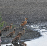 Fulvous Whistling-Duck, Ensley, Shelby Co, TN, 17 Oct 13
