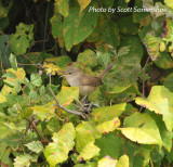 House Wren, west of the MS river, Shelby Co, TN, 17 Oct 13