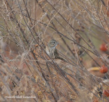 Lincoln's Sparrow, Priest Field Trial Area, Rutherford Co., 30 Oct 13