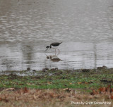 Black-necked Stilt, Robertson Co., TN, 9 Dec 13