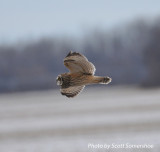 Short-eared Owl, Old Hwy 79, Lake Co., TN 13 Dec 13