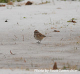 American Tree Sparrow, #3 of the day, Airpark Inn, Reelfoot Lake, Lake Co., TN, 14 Dec 13