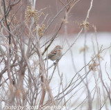 American Tree Sparrow, #7 of the day, Phillippy Unit, Black Bayou Refuge, Lake Co., TN, 14 Dec 13