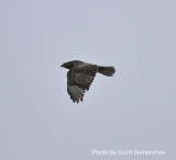 Immature Harlan's Red-tailed Hawk, Phillippy Unit, Black Bayou Refuge, Lake Co., TN, 14 Dec 13
