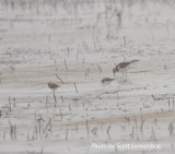 Least Sandpipers (and Killdeer) on ice, Lake Co., TN, 14 Dec 13