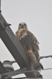 Rough-legged Hawk, adult female, light morph, Hwy 78 and Hwy 213, Lake Co., TN, 14 Dec 13