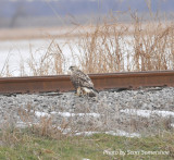 Rough-legged Hawk, adult female, light morph, Hwy 78 and Hwy 213, Lake Co., TN, 13 Dec 13