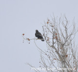 Rough-legged Hawk, adult dark morph, north of Phillippy, Lake Co., TN, 14 Dec 13