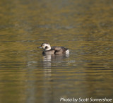 Long-tailed Duck, Bellevue, Nashville, TN, 16 Dec 13.