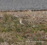 Sprague's Pipit, Panola Co., MS, 23 Jan 14