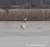 Glaucous Gull, Tunica Landfill, Tunica Co., MS, 23 Jan 14