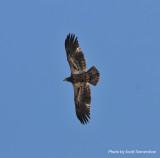 Bald Eagle, Rocky Mountain Arsenal NWR, 6 Apr 14