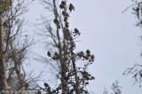 Bohemian Waxwings, above Horseshoe Park in Rocky Mountain NP, 5 Apr 14