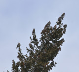 Bohemian Waxwings, just north of Nederland, CO, 5 Apr 14