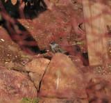 Golden-crowned Sparrow, Red Rocks, 5 Apr 14