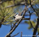 Mountain Chickadee, Reynolds Ranch Park, near Conifer CO, 6 Apr 14