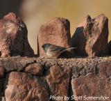 Dark-eyed Junco (Oregon), Red Rocks, 5 Apr 14