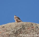 Prairie Falcon, Red Rocks, 5 Apr 14