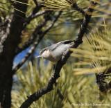 Pygmy Nuthatch, Reynolds Ranch Park, near Conifer CO, 6 Apr 14