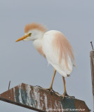 Cattle Egret, Little Elder Island, 3 June 14