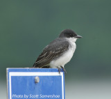 Eastern Kingbird, near Little Elder Island, 3 June 14