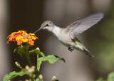 September 2013 Hummingbirds