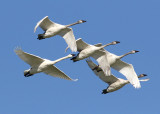 Trumpeter Swans and Friends
