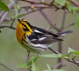 USA: Warblers