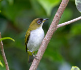Cream-throated White-eye