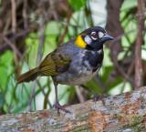 White-eared Ground-Sparrow
