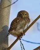 Feruginous Pygmy-Owl