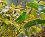 Golden-browed Chlorophonia