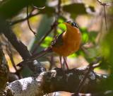 Lesser Ground-Cuckoo