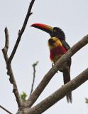 COSTA RICA: Birds