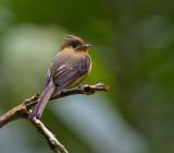 Tufted Flycatcher