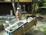 Gumbo Limbo felling and replant for logia Oct 24 2014