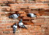Logis de pigeons
