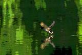 Le canard décollant